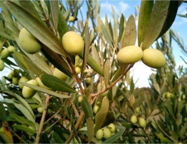 Fertilisation de l'olivier